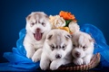Picture flowers, trio, husky, basket, puppies