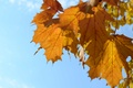Picture autumn, the sky, leaves, nature, yellow, blue background