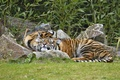 Picture pair, tiger, Amur, stay, cats, grass, sleep