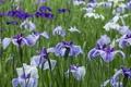 Picture field, grass, nature, petals, meadow, iris