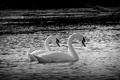 Picture pair, swans, lake
