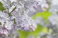 Picture tenderness, macro, lilac, spring