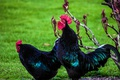 Picture black, The Year Of The Rooster, cocks, two