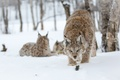 Picture trees, eyes, trees, snow lynx, snow lynx, snowing, snow, look