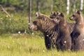 Picture forest, animals, grass, trees, nature, bears, animals