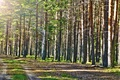 Picture the sun, Summer, beautiful, forest, pine, road