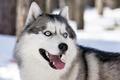 Picture dog, look, Siberian husky, each
