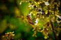 Picture macro, collects, bee, nectar, bee, flower