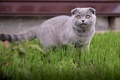Picture cat, fold, Scot, summer, kitty, grass