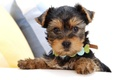 Picture puppy, Yorkshire Terrier, face, collar