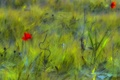 Picture field, flowers, Maki, red, green