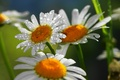 Picture drops, flowers, nature, chamomile