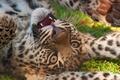 Picture leopard, the game, predator, muzzle, leopard, kitty