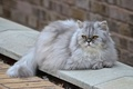 Picture cat, fluffy, Persian cat