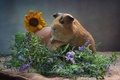 Picture sunflower, Guinea pig, animal, pitcher, burlap