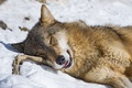 Picture branch, stay, snow, winter, wolf, ©Tambako The Jaguar, face, sleeping, sleep