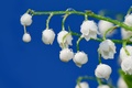 Picture tenderness, Lily of the valley, white, flower, freshness, sprig, stem, Rosa, bunch, spring, drops