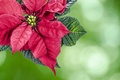 Picture Christmas, holiday, puansetiya, flower, plant