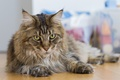 Picture cat, cat, look, Maine Coon
