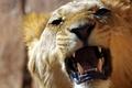 Picture roar, mouth, Leo, teeth