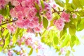 Picture spring, the sun, Flowering trees, Sakura, colorful, cherry, flowering, branch, beauty, Branches