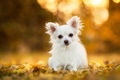 Picture bokeh, Chihuahua, doggie, dog, leaves
