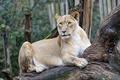 Picture cat, look, snag, ©Tambako The Jaguar, lioness