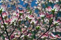 Picture spring, dogwood, branches