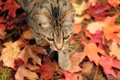 Picture autumn, cat, foliage