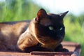 Picture cat, grass, the sun, green-eyed, muzzle, Siamese, background, lies, cat