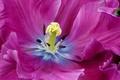 Picture flower, Tulip, petals