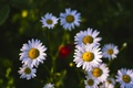 Picture summer, chamomile, heat, flowers, nature