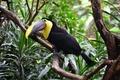 Picture nature, Toucan, bird