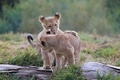 Picture pair, the game, the cubs, kids, cubs, wild cats