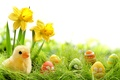 Picture flowers, eggs, flowers, chik, Easter, grass, springer, spring, daffodils, eggs, painted, colorful, daffodils, grass, easter, ...