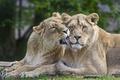 Picture pair, lions, cats, lioness, ©Tambako The Jaguar, love