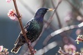 Picture branches, spring, bird.thrush