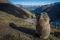 Picture marmot, rodent, stand
