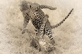 Picture cheetahs, the game, animals, Cheetah, cats