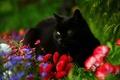 Picture cat, flowers, Daisy, black cat
