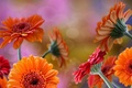 Picture orange, red, Rosa, glare, gerbera, drops