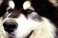 Picture husky, Malamute, Alaskan Malamute, Yakut, sled dogs, snow carrousel jackpot, the best dog in the ...