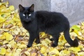 Picture cat, look, black, leaves, foliage, tail, autumn, gold, yellow, eyes, cat