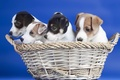 Picture basket, dogs, puppies