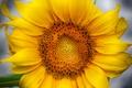Picture sunflower, petals, flower
