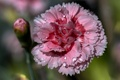 Picture water, petals, carnation, Rosa, flower, drops