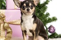 Picture dog, gifts, New year, Chihuahua, tree, box