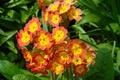Picture bright, flowers, spring, primrose, Primula, flower, yellow, greens, orange, spring