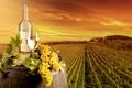 Picture landscape, grapes, vineyard, field, leaves, wine, glass, barrel, bottle, plantation