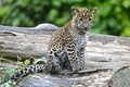 Picture spot, leopard, cub